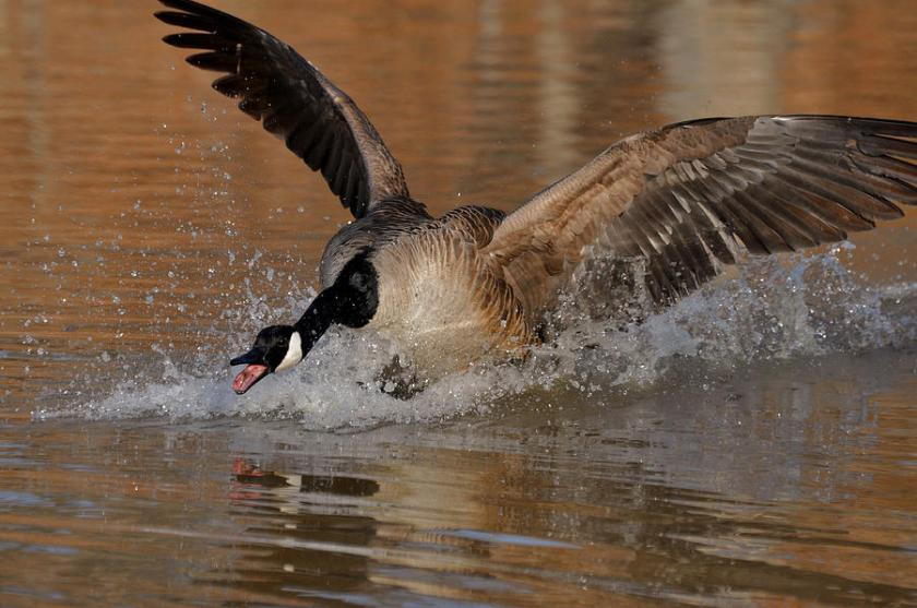 canada-goose-close-attack-c0162a-paul-lyndon-phillips