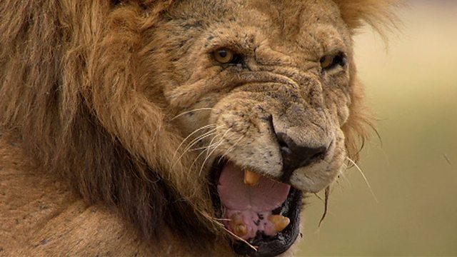 Lion-10