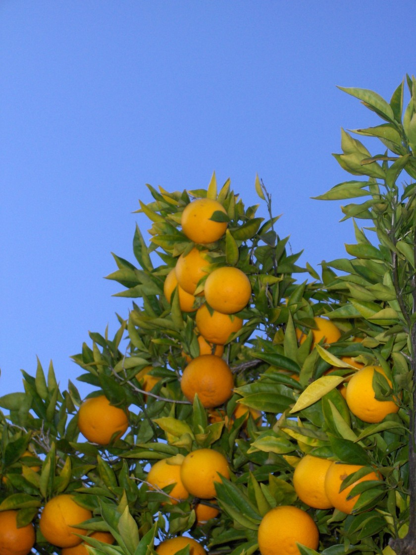 Orange_tree_(chez_fine)